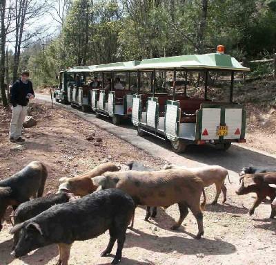 Les cochons laissent passer le train avant de traverser.